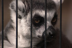 lemurpotrait Royaltyfri Fotografi