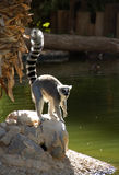 lemurringtail Royaltyfria Foton
