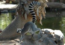 lemurringtail Arkivbild