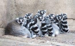 Lemurs замкнутые кольцом Стоковая Фотография RF