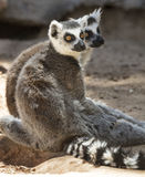 Lemurs замкнутые кольцом Стоковое Изображение