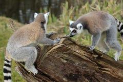 Lemurs замкнутые кольцом Стоковые Изображения RF