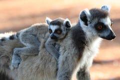 lemurs звенят замкнуто Стоковые Изображения