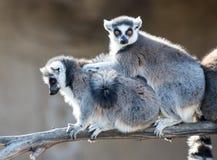 lemurs звенят замкнули 2 Стоковое Изображение