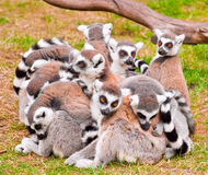 Lemurs royalty free stock photos