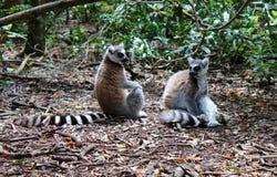 lemurs Foto de Stock