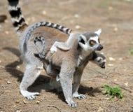 lemurs Arkivbilder