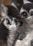 lemurs Photo stock