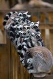 lemurs royaltyfria bilder