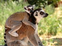 Lemurs Photographie stock libre de droits