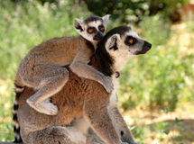 Lemurs Lizenzfreie Stockfotografie