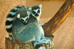Lemurs. Time for a nap. Two adorable lemurs taking a daily nap Stock Images