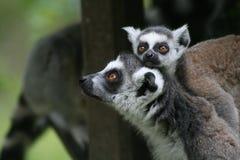 Lemurs immagini stock