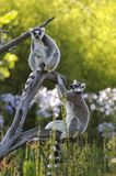 Lemurs Photographie stock