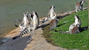 lemurs stock video