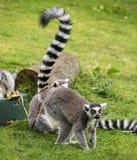 lemurs Стоковые Изображения RF