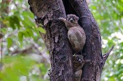 lemurs Royaltyfri Bild