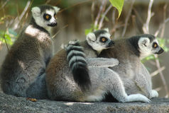 Lemurs. Color photo of ring-tailed lemurs Royalty Free Stock Image