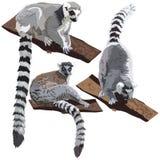 lemurs illustrazione vettoriale