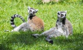 lemurs Imagenes de archivo