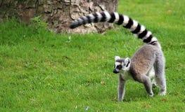 lemurs Stock Foto
