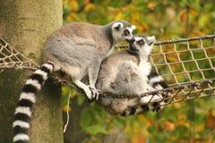 lemurs Foto de Stock Royalty Free