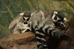 lemurs Imagem de Stock Royalty Free