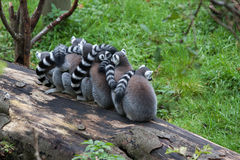 lemurs Stockfotos