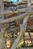 lemurs Photo stock