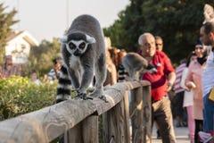 lemurs photos libres de droits