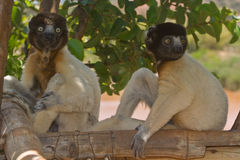 Lemurs. Wild Crowned Sifakas in Madagascar Royalty Free Stock Image
