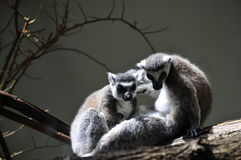 Lemurs Stock Photography