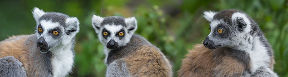 lemurs Fotografia de Stock