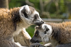 Lemurs. Two beautiful lemurs clean fur Royalty Free Stock Photography