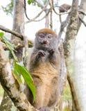 Lemurs in Andasibe Park Madagascar Royalty Free Stock Images