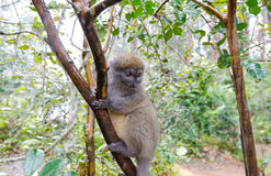 Lemurs in Andasibe Park Madagascar Royalty Free Stock Photos