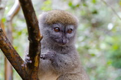 Lemurs in Andasibe Park Madagascar Royalty Free Stock Photography