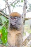 Lemurs in Andasibe Park Madagascar Stock Photos