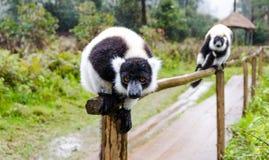 Lemurs in Andasibe Park Madagascar Royalty Free Stock Photo