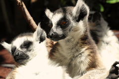 Lemurs anillo-atados lindos Fotos de archivo libres de regalías