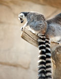 Lemurs atados anel Imagens de Stock Royalty Free