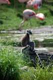 Lemurs atados anel   Foto de Stock