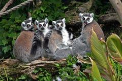 Lemurs atados anillo Imágenes de archivo libres de regalías