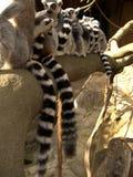 Lemurs auf Zweig stockfotografie