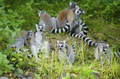 Lemurs. Band of lemurs close to each-other Royalty Free Stock Photo