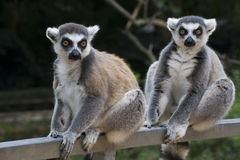 lemurs catta Стоковое фото RF