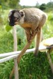 Lemurs in Madagascar. Lemurs are a clade of strepsirrhine primates endemic to the island of Madagascar Royalty Free Stock Photos