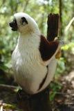 Lemurs in Madagascar. Lemurs are a clade of strepsirrhine primates endemic to the island of Madagascar Stock Photography