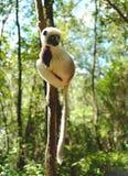 Lemurs in Madagascar. Lemurs are a clade of strepsirrhine primates endemic to the island of Madagascar Stock Photo