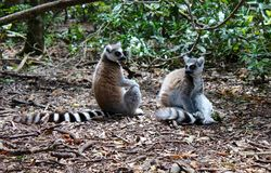 Lemurs. Close up of a black and white lemur monkeys from Madagascar, Africa Stock Photo